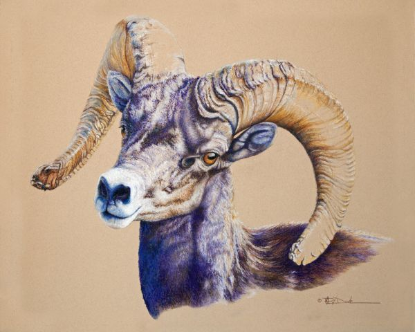 Mary Dove – Young Desert Bighorn