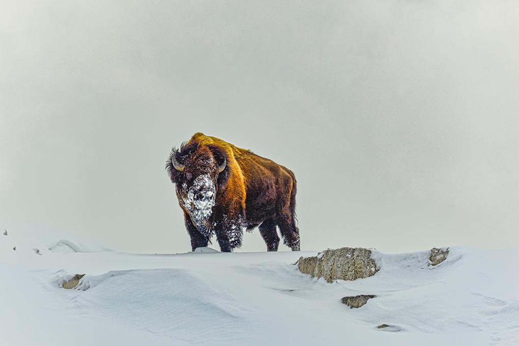 Gladstone_Vic_Lone-Bison-Majestic-Survival